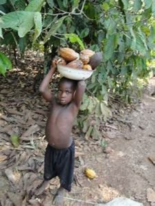 child labor in the cocoa region
